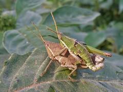 Sphenarium purpurascens (carlos mancilla) Tags: insectos grasshoppers saltamontes chapulines olympussp570uz sphenariumpurpurascens