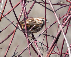 Swamp Sparrow (jaybirding) Tags: bird me animal us outdoor maine freeport stormer swampsparrow floridalake leicavlux114