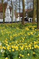 Begijnhof in March (Yenner815) Tags: flowers march spring belgium bruges daffodils flanders flandria begijnhof belgia brugia