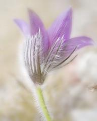 To all Pasque lovers. (BirgittaSjostedt.) Tags: wild plant flower macro texture nature closeup pattern blossom pastel serene ie pasque tistheseason commonpasque magicunicornverybest birgittasjostedt pulsatiulla