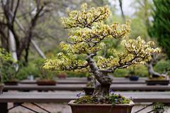 20160413-41-Bonsai at Kyoto Botanic Gardens (Roger T Wong) Tags: travel trees holiday japan kyoto bonsai botanicgardens 2016 canonef70200mmf4lisusm canon70200f4lis canoneos6d rogettwong