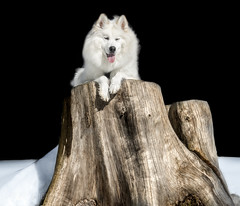 Dog Posting (Blochmntig) Tags: winter dog snow tree samoyed dogface samu posting winterwonderland snowdog whitedog schlittenhund winterlandschaft baumstumpf fellnase samojede dogshot dogshooting dogposting
