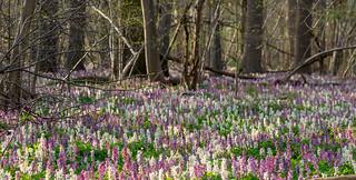 Frühlingswald mit Lerchensporn / forest in spring with corydalis flowers