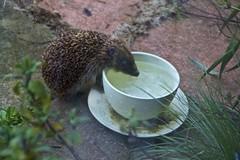 Thirsty Hedgehog (Mill View) Tags: hedgehog thirsty