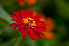 Zinnia (sostenesmonteiro) Tags: flowers flores flower nature nikon natureza flor zinnia zinia d5200 sostenesmonteiro totecmt