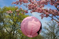 Lampion and the sky (taelonsela_02) Tags: nature spring cherryblossom dortmund cherrytree lampion rombergpark kirschbltenfest