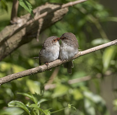 """The Kiss - """"Explored 24th April 2016"""" (archie0) Tags: birds kiss intimate"""