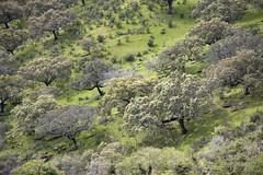 Monte mediterráneo (RubénRamosBlanco) Tags: plants naturaleza primavera nature landscape spring plantas paisaje vegetation botany botánica monfragüe vegetación dehesa extremadura mediterraneanforest bosquemediterráneo