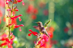 Hummingbird in midair (Pham C Photos) Tags: hummingbird bokeh midair bif redflowers lateafternoon birdinflight birdphotography flyingbird flyinghummingbird beautifulbokeh canon70300mmisusm canon7dmarkii