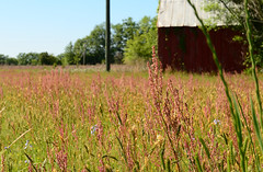 108/366 (moke076) Tags: old pink red nature oneaday field grass barn project landscape back nikon driving south country photoaday wildflowers 365 roads blooming 2016 366 project365 365project project366 d7000
