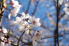 Blossoms (juliafrenchfrey) Tags: flowers blue trees sky plants plant flower tree cherry flora blossoms sakura cherryblossoms cherrytree hanami