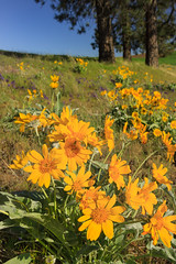 Arrowleaf Balsamroot (Matthew Singer) Tags: washington unitedstates wildflowers palouse