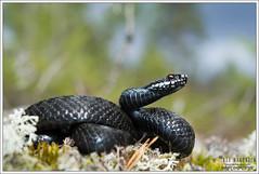 Vipera berus (Thor Hakonsen) Tags: reptile snake viper adder reptil viperaberus huggorm hoggorm viperidae