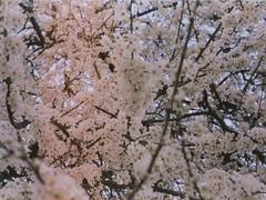 film. (eunoia ecoas) Tags: trees light white tree film nature beautiful beauty analog dark spring soft solitude minolta blossoms peaceful poetic ethereal nostalgic dreamy delicate expired simple gentle leaks melancholic eunoia ecoas