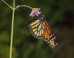 Monarch, female (Danaus plexippus) (AllHarts) Tags: ngc npc memphistn verbenabonariensis dixongardens monarchdanausplexippus butterflygallery naturescarousel challengeclubchampions