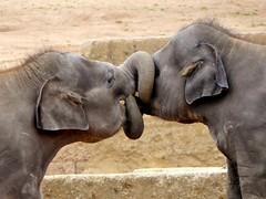 knotted ;-) (BrigitteE1) Tags: test baby elephant animal germany de fun mammal europe play knot hanover elefant asianelephant babyelephant elephasmaximus knotted knoten specanimal asiatischerelefant youngelephants erlebniszoohanover