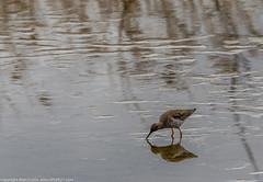9Q6A9951 (2) (Alinbidford) Tags: lapwing cormorant buzzard greyheron littleegret redshank greatcrestedgrebe brandonmarsh alancurtis alinbidford weepingwillowbuds