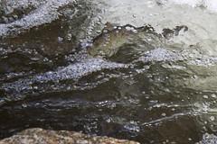 Herring in the Run (brucetopher) Tags: fish water river spring stream stonybrook bubbles return brook rebirth herring alewife springtime riverbottom signsofspring rejuvenation babblingbrook riteofspring riverherring alewives bluebackherring