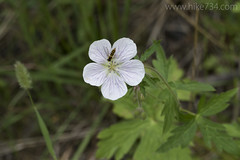 """White Geranium • <a style=""""font-size:0.8em;"""" href=""""http://www.flickr.com/photos/63501323@N07/26582380922/"""" target=""""_blank"""">View on Flickr</a>"""