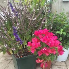 Flowering Corner (Assaf Shtilman) Tags: flower corner indigo sage bougainvillea basil