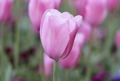 Pink Tulip. (fa_no) Tags: fleur 50mm spring nikon single nikor f18g d5100