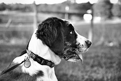 Jax Profile (This_is_JEPhotography) Tags: light portrait bw dog pet pets white black dogs field puppy outdoors blackwhite mix shot natural bokeh sony profile portraiture chow pup jax tamron depth slt lense a77 catahoula