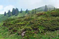 Alpenrose (welenna) Tags: blue schnee summer sky mist mountain lake snow mountains alps landscape switzerland see nebel view swiss natur blumen berge alpen blume alpenrose trbsee schwitzerland titlisundtrbsee