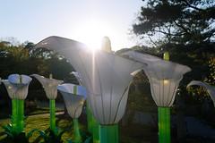 Petals and Light (llewelynjarvis) Tags: flowers trees sky sunlight green nature beautiful gardens clouds contrast fun botanical virginia spring asia colours dof natur norfolk panasonic lantern norfolkbotanicalgardens lumixg lanternasia dmcgf5