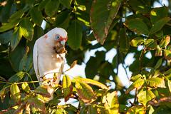 Cockatoo catering (cheezepleaze) Tags: autumn bird walnut cockatoo galah parot australiannative ithinkitsacockatoo