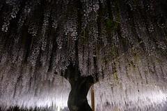 -- (m-miki) Tags: light flower up japan spring nikon   wisteria    d610