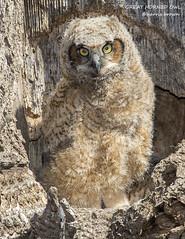 GREAT HORNED OWL CHICK HB7_1645 (HARRIS BROWN 427) Tags: bird nikon pennsylvania wildlife ngc npc owl lancastercounty birdofprey greathornedowl naturephotography birdphotography wildlifephotography avianphotography nikon500mmf4 nikond7200 harrisbrown