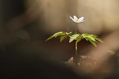 Buschwindrschen (Anemone nemorosa) (Chris Nature) Tags: flower nature buchenwald natur anemone grn braun blume wald schwarz frhling buschwindrschen nemorosa bayerischer frhjahrsblher geophyt naturfotographie