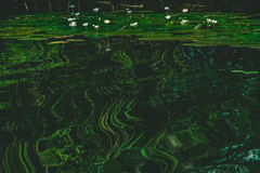 IMG_6614 (gaujourfrancoise) Tags: green australia vert waterlilies downunder australie gaujour