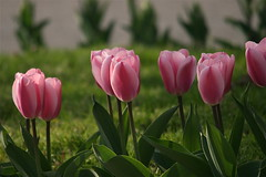 IMG_7898 (Five eyes) Tags: flowers flower holland color nature beauty garden spring dof tulips beds michigan fresh neighborhood beginning tuliptime promise lanes 2016
