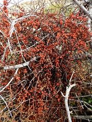 parasite (h willome) Tags: california desert hiking joshuatree wildflowers joshuatreenationalpark 2016 cottonwoodsprings