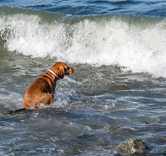 Heather In The Waves_4300376 (www.jonathan-Irwin-photography.com) Tags: playing seaside waves heather vizsla hungarian