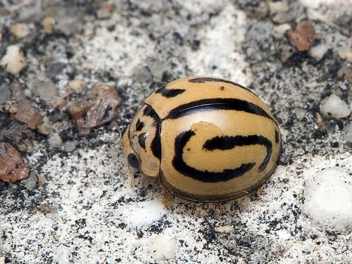 Ladybird (Beetle)