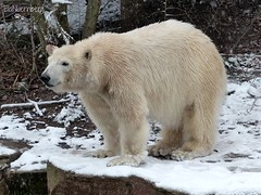 Vera - Charlottchen - Eisbären - Tiergarten Nürnberg (ElaNuernberg) Tags: zoo polarbear ijsbeer eisbär ursusmaritimus zooanimals zootiere jääkaru tiergartennürnberg ourspolaire orsopolare nurembergzoo niedźwiedźpolarny eisbärvera eisbärcharlottealiaslottchen