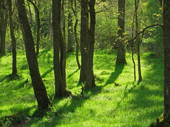 Oak woodland, Atholl Palace Hotel, Pitlochry (Niall Corbet) Tags: tree forest woodland scotland spring oak quercus perthshire pitlochry athollpalace
