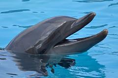 Golia's Profile_2 (Haku_Orka) Tags: show italy animals photography photo italia dolphin lagoon laguna behavior animali golia riccione spettacolo delfino bottlenose cetaceans addestramento oltremare comportamento cetacei tursiope addestratore hakuorka