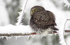 Northern Pygmy-Owl (Michael Woodruff) Tags: winter snow frost northern pygmyowl northernpygmyowl gnoma glaucidium glaucidiumgnoma