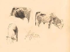 Vacas (LauraOspinaMontoya) Tags: vaca vacas antioquia lpiz