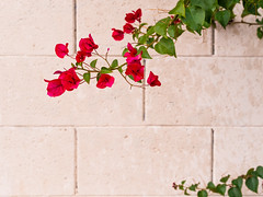 Red flowers against block wall (Citizen 4474) Tags: flowers red arizona green phoenix leaves wall overcast neighborhood blocks wandering democraticforest