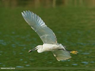 Little Egret (Egretta garzetta), Pakistan
