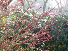 Acer palmatum 'Sango Kaku' Coral Bark Maple (Safia girl) Tags: paper maple bark acer acerpalmatumsangokaku