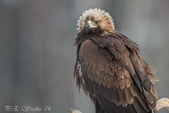 Kungsrn, Golden Eagle, Aquila chrysaetos (pesvahn) Tags: vinter 01 goldeneagle djur fgel tema aquilachrysaetos 2013 rstid kungsrn rovfglar tel