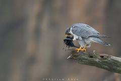 The Butcher (Khurram Khan...) Tags: ilovenature raptors birdsofprey peregrinefalcon falcoperegrinus birdphotography ilovewildlife iamnikon khurramsphotography khurramk khurramkhan