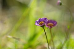 Fleur violette en fort tropicale (zambaville) Tags: macro fleur canon eos is usm fort proxy flore violette tropicale f28l ef100mm lesquelin 5dsr