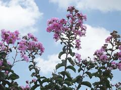 23/366 Heaven (JessicaBelotto) Tags: flowers sky flores planta sol azul heaven day foto rosa dia cu days honey nuvens fotografia projeto fotogrfico fotografando 366 alegrar 366daysofhoney 366diasnoano