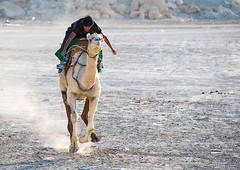 a man racing a camel during a traditional wedding, Qeshm Island, Salakh, Iran (Eric Lafforgue) Tags: travel wedding people man men animal horizontal race outdoors photography amusement persian asia desert iran muslim islam traditional ceremony culture traditions marriage competition persia folklore running run racing celebration riding camel jockey activity custom cultures adultsonly cultural oneperson islamic middleeastern persiangulf sunni qeshmisland menonly 20sadult youngadultman hormozgan  fulllenght onemanonly  1people  iro straitofhormuz  colourpicture  salakh camelrunning iran034i9342